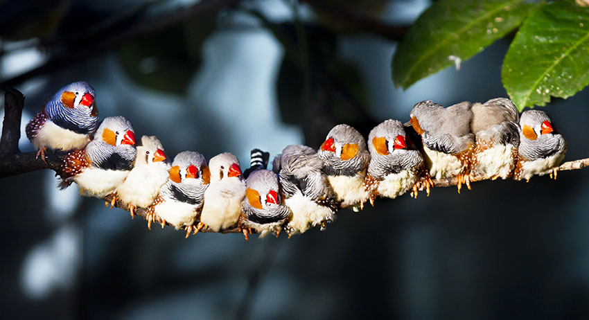 Zebra finches perching together